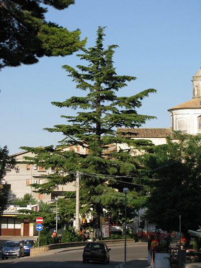 Il maestoso Cedrus deodara di Pianella