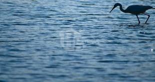 30 anni di censimenti degli uccelli acquatici in Abruzzo, i primi dati della Stazione Ornitologica Abruzzese