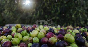 Casoli, un convegno sull'olio extravergine di oliva con i maggiori esperti del settore a livello nazionale