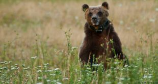 Il WWF parte civile nel processo per l'orso ucciso tre anni fa a Pettorano, martedì prima udienza in Tribunale a Sulmona