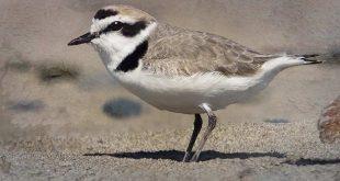 Fratino: l'allarme del WWF in diminusione la presenza sulla costa abruzzese