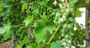 VIitivinicolo: Pepe,OCM vino -risorse per 30 imprese associate