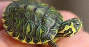 Montesivano, le tartarughe rischiano la soppressione, una soluzione per salvarle