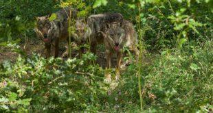 A Civitella Alfedena l'incontro con i lupi di un lettore