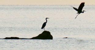 Aironi in migrazione in sosta sulle scogliere a Pescara.La SOA: conservare o ricostituire aree umide lungo la costa