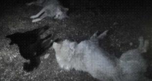 A Cerchio strage di cani, 9 maremmani avvelenati con la stricnina
