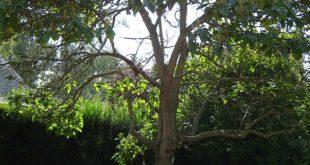 Il WWF Chieti-Pescara lancia l'allarme Paulownia: si moltiplicano nelle nostre campagne le coltivazioni di questo albero cinese a rapida crescita