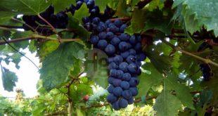 Pepe presenta un Progetto di Legge per sostenere i produttori abruzzesi di vini di qualità