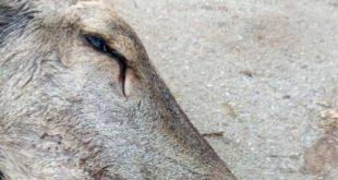 A Introdacqua e Bugnara ennesimo cervo ucciso dai bracconieri