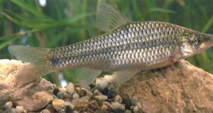 Il mondo scientifico condanna il regolamento che apre i fiumi italiani ai pesci alieni
