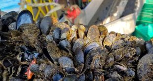 Moria di cozze nella Costa dei Trabocchi: dramma per gli operatori