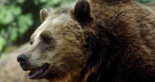Parco Nazionale della Majella, al via il progetto europeo Life ArcProm per la convivenza con l'orso bruno