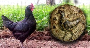 Biodiversità: la Gallina nera atriana approda sui tavoli di discussione regionale