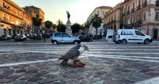 A Giulianova falconieri in azione per scacciare i piccioni dal centro storico