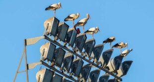 Meraviglia a Chieti, cicogne di passo si riposano sui fari dello stadio