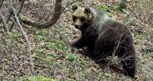 Parco Nazionale della Majella, il ritorno dell'orsa Peppina