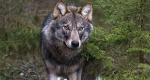 """Lupi a Spoltore: tre individui filmati nel territorio, il WWF: """"un fatto naturale. Convivere si può"""""""