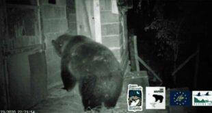 Parco Nazionale della Majella, l'orsa Peppina che sa aprire le porte – VIDEO