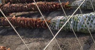 18 nuove palme Washingtonia per il Lungomare Monumentale di Giulianova