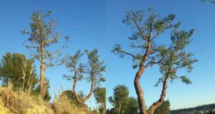"""Potature sui Pini d'Aleppo a Francavilla al Mare.  Il Co.n.al.pa """"Gravi danni possono compromettere gli alberi"""""""